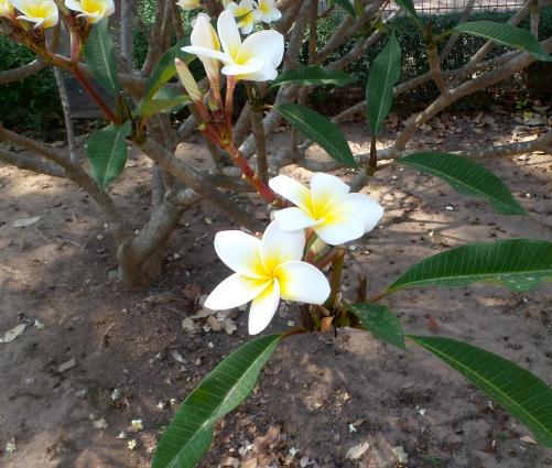Frangipani Blüten