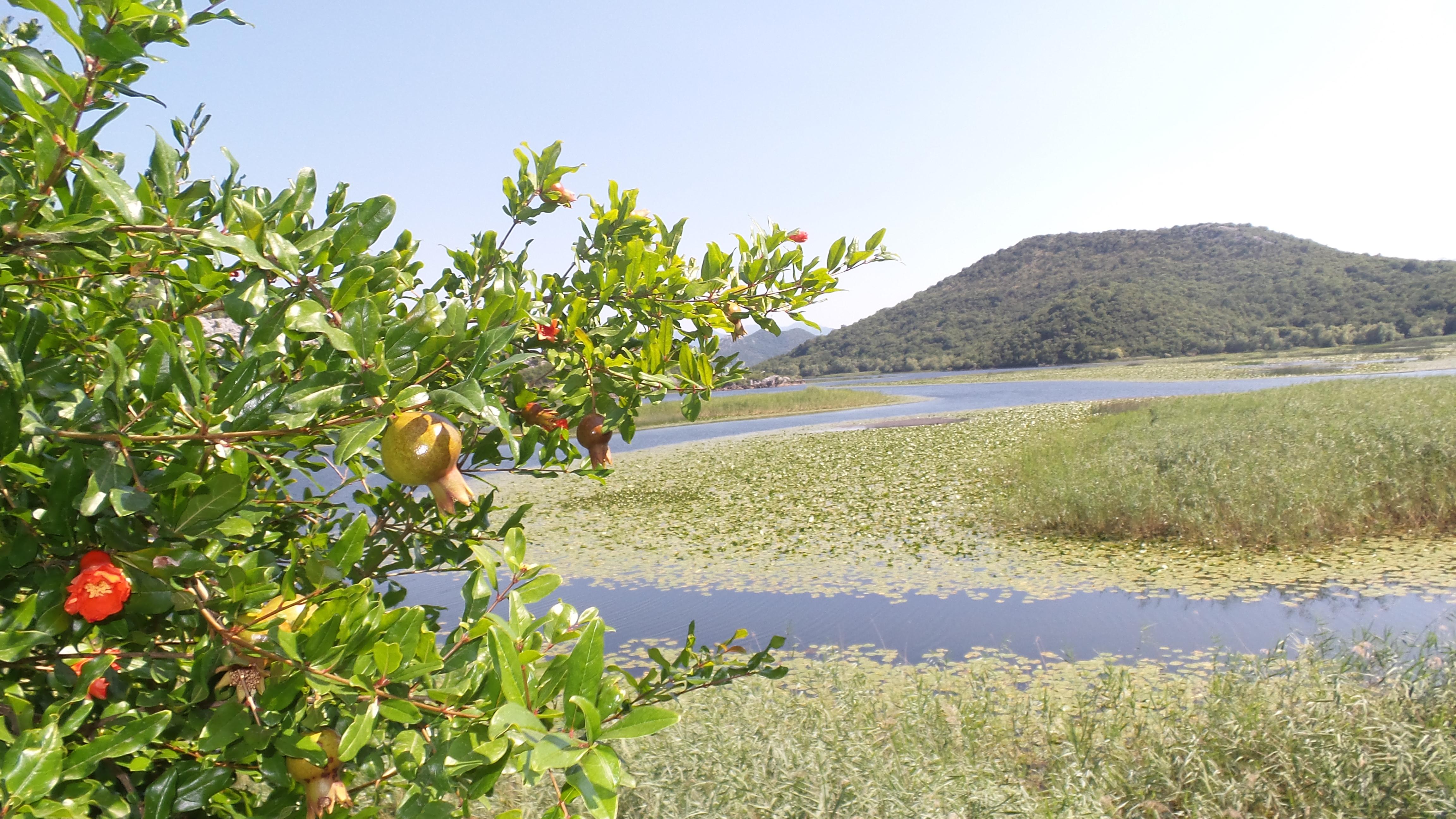 Granatäpfel