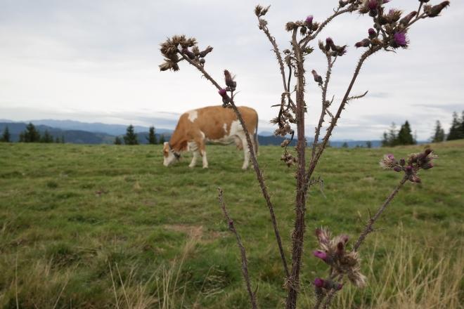 Blumen und Kuh