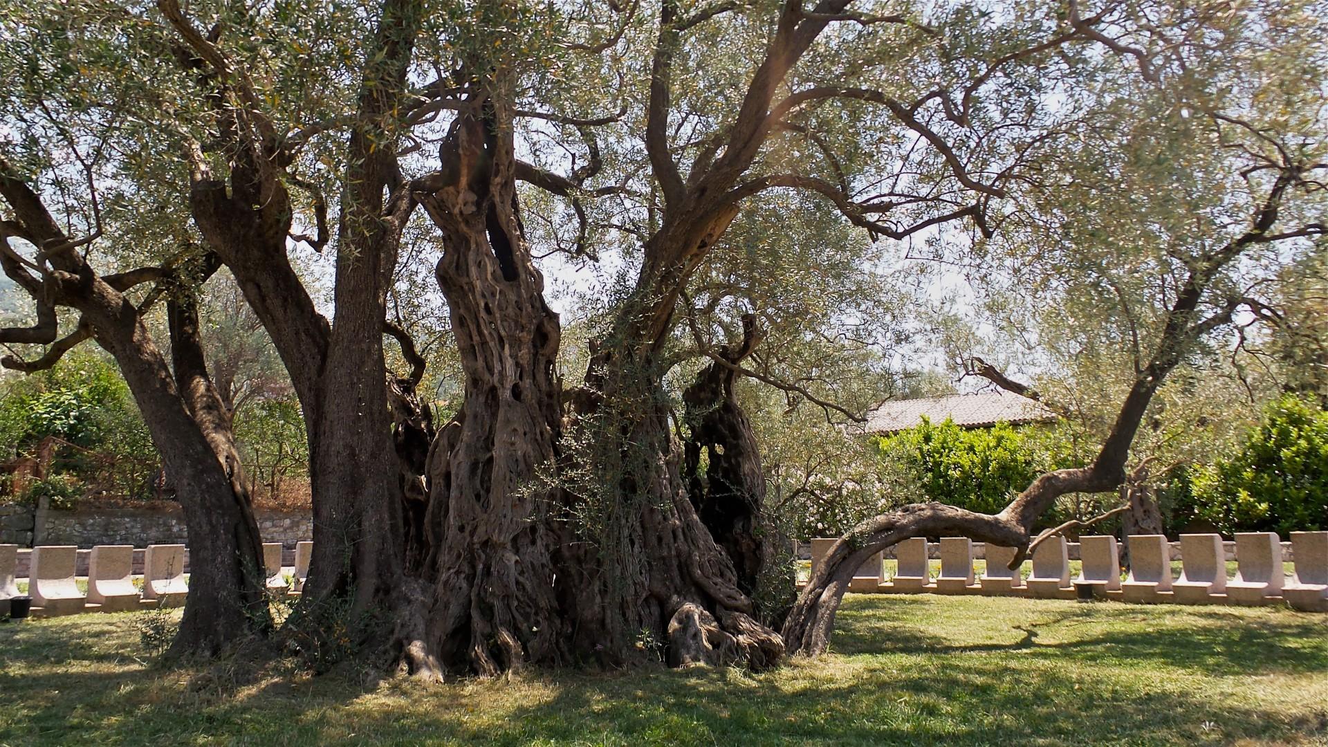 Alter Olivenbaum Bar
