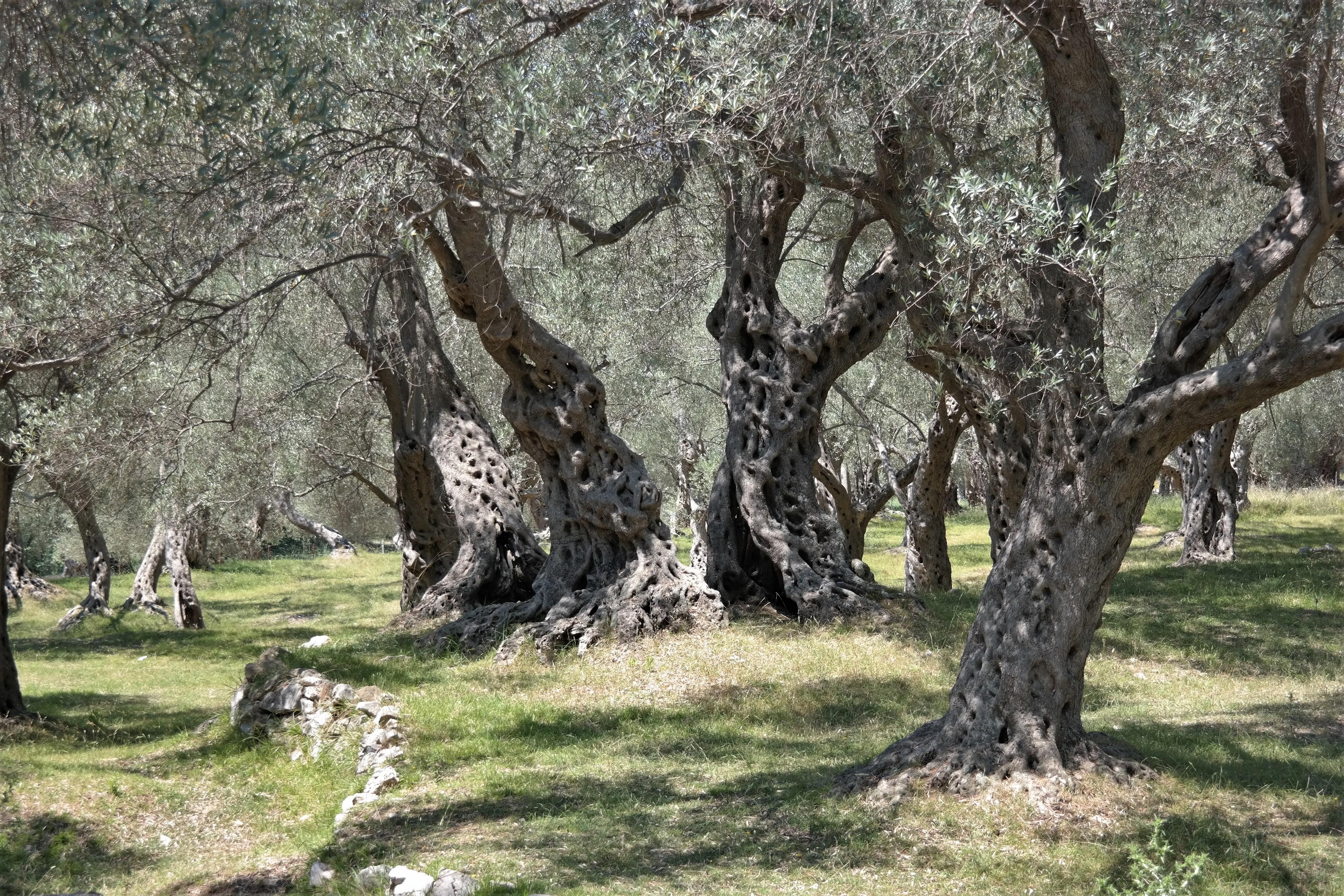 Olivenbäume Valdanos Beach Montenegro