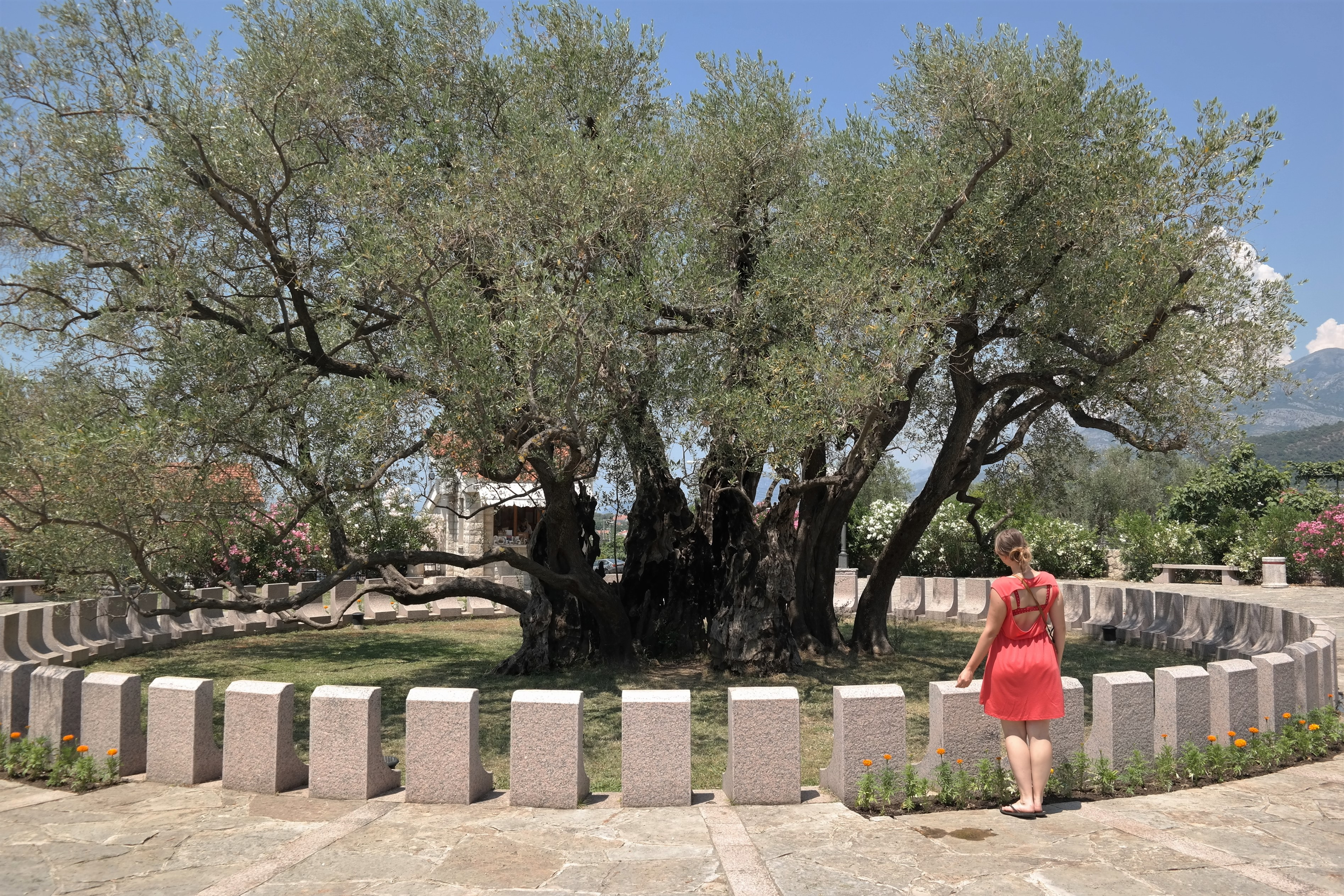 Alter Olivenbaum Bar Montenegro