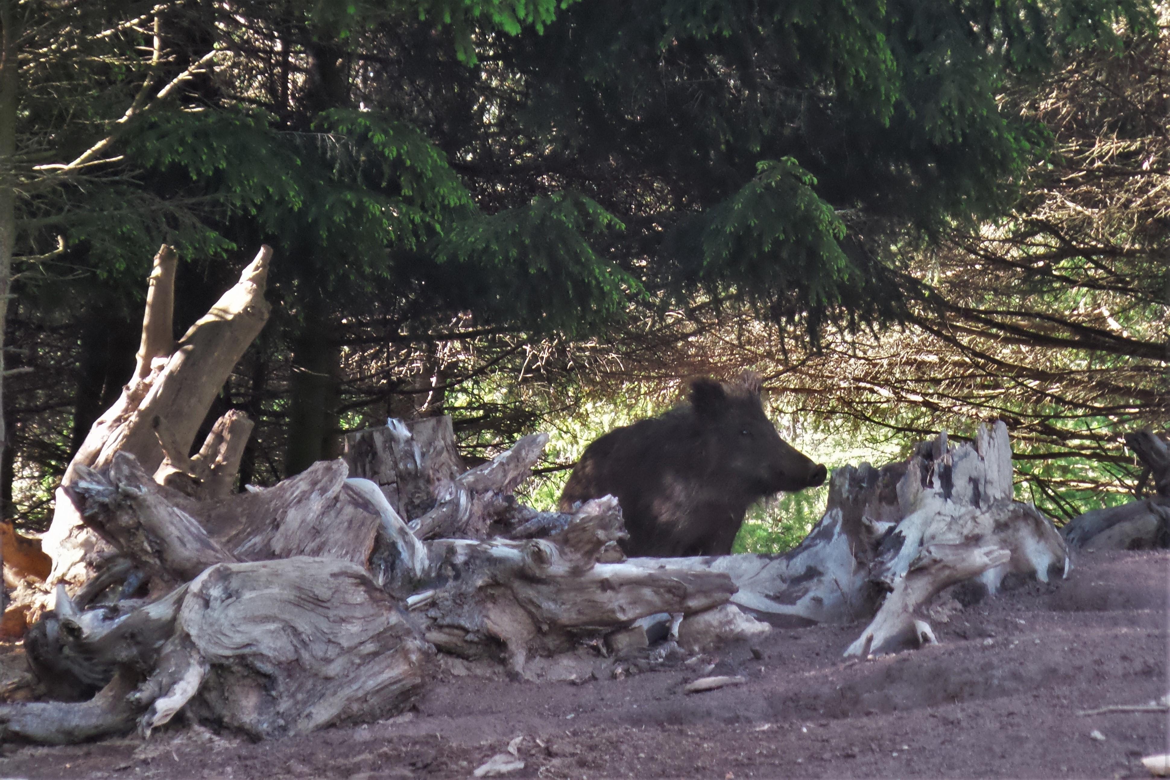 Wildschweingehege Zirbitzkogel