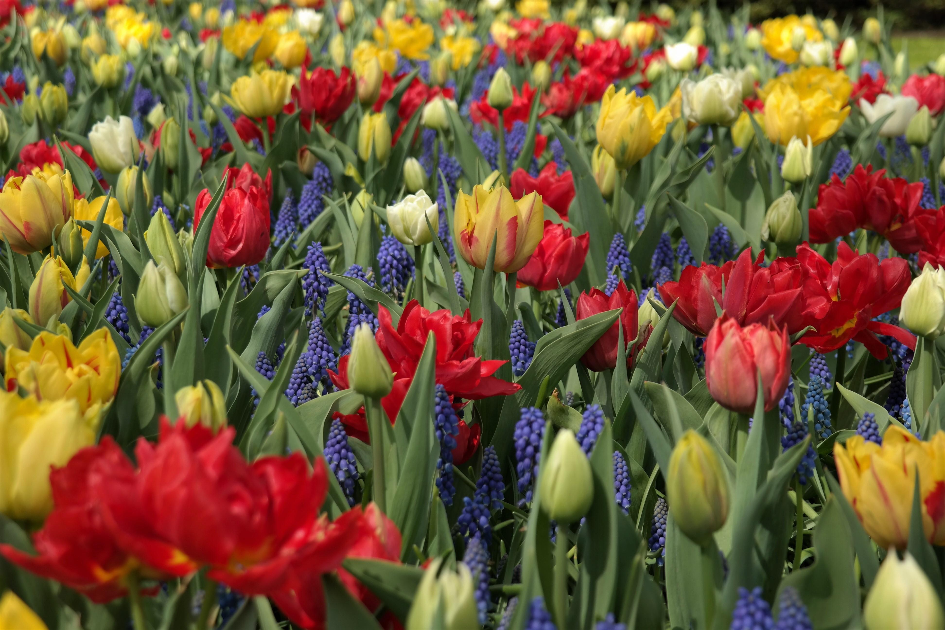 Tulpenfelder Keukenhof