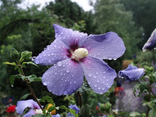 Blume im Regen auf der Insel Mainau