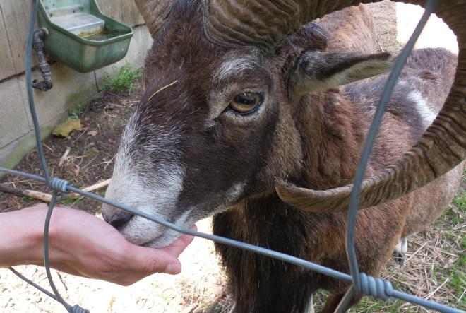 Naturpark Hohe Wand - Mufflon