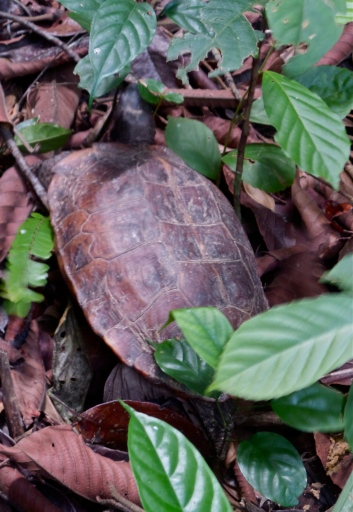Schildkröte am MacRitchie Nature Trail