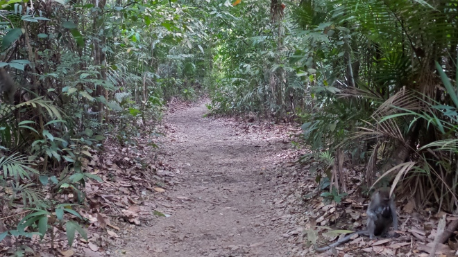 Affen am MacRitchie Nature Trail